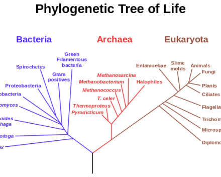 Archaea phylogenetic tree of life